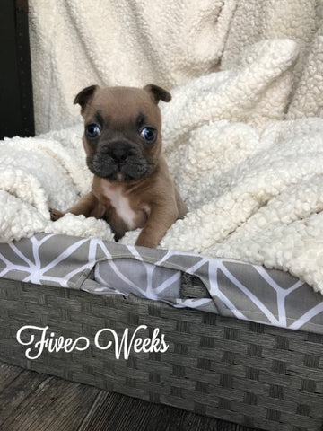 blue sable frenchie