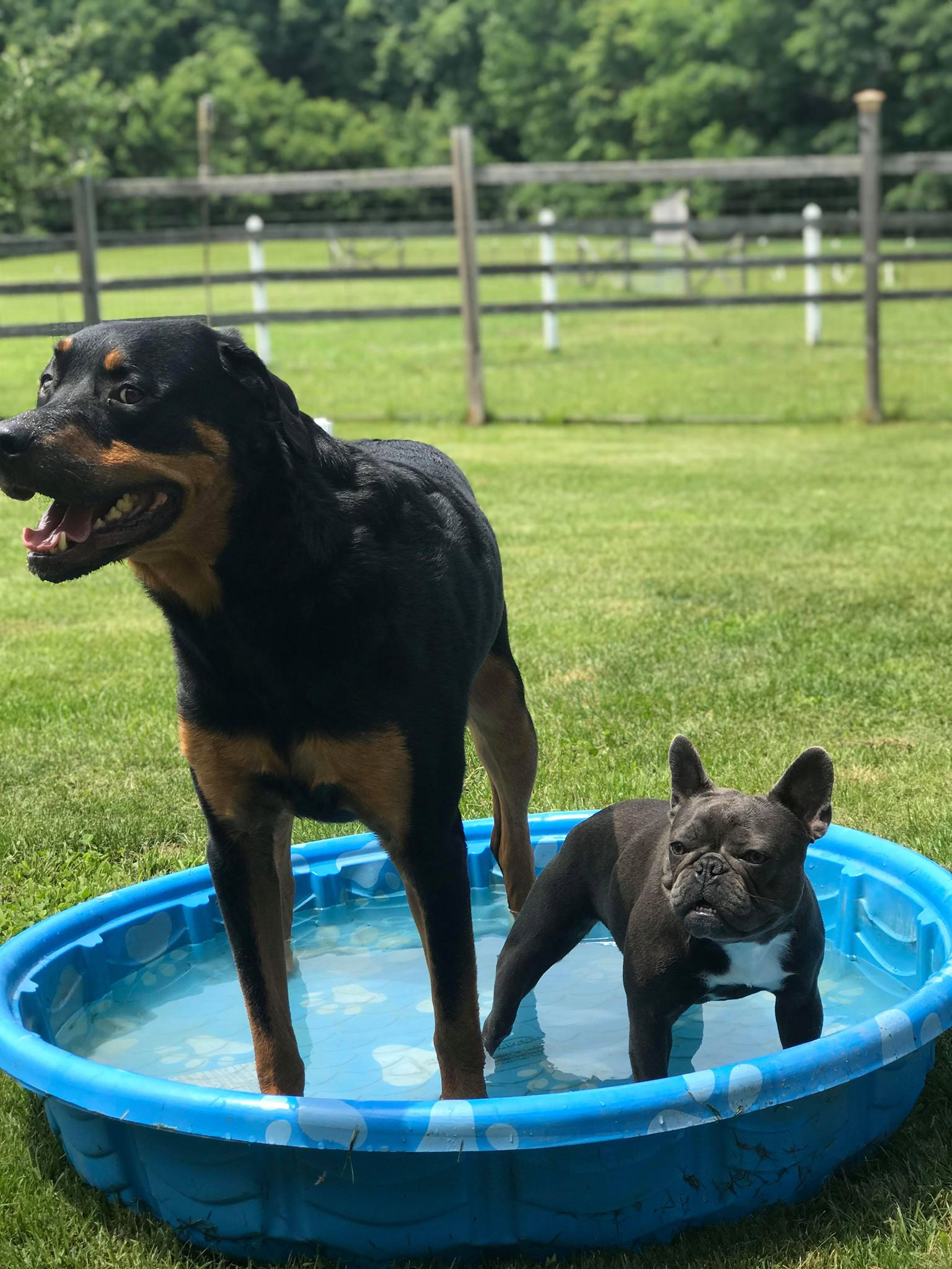Blue Female Frenchie with rottweiler