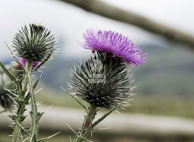 Amazing benefits of milk thistle oil for skin