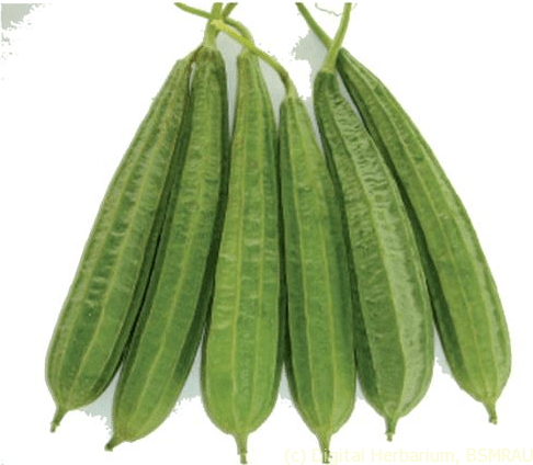 Ridge Gourd(Torai) 2lb appx. - Indian Bazaar - Online Indian Grocery Store