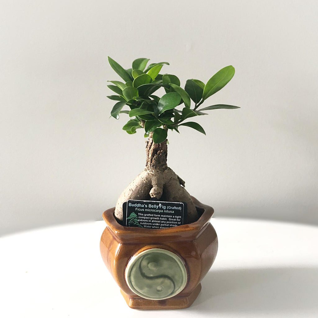 Buddha's Pot Belly Fig 'Ficus Microcarpa Retusa' Bonsai