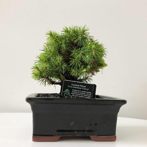 Picea Albertiana 'Conica' Bonsai