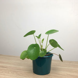Pilea Peperomoides Chinese Money Plant