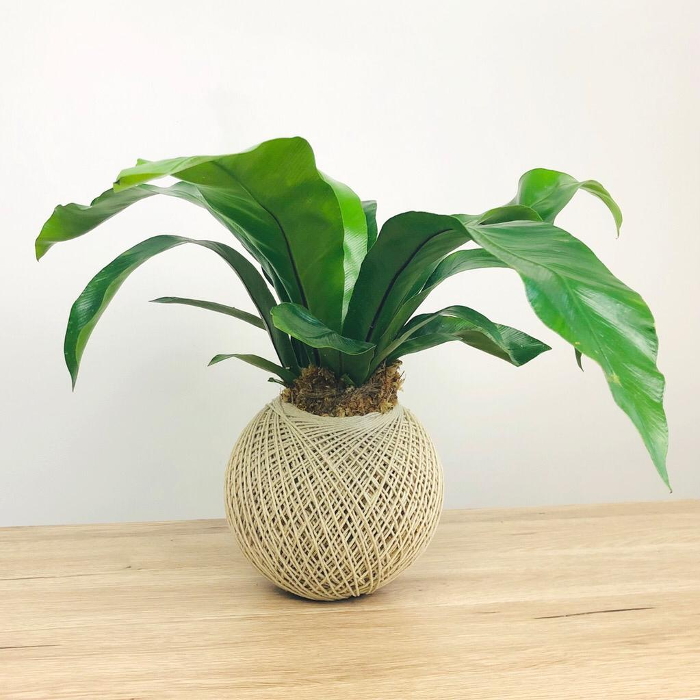 Bird's Nest Fern Kokedama