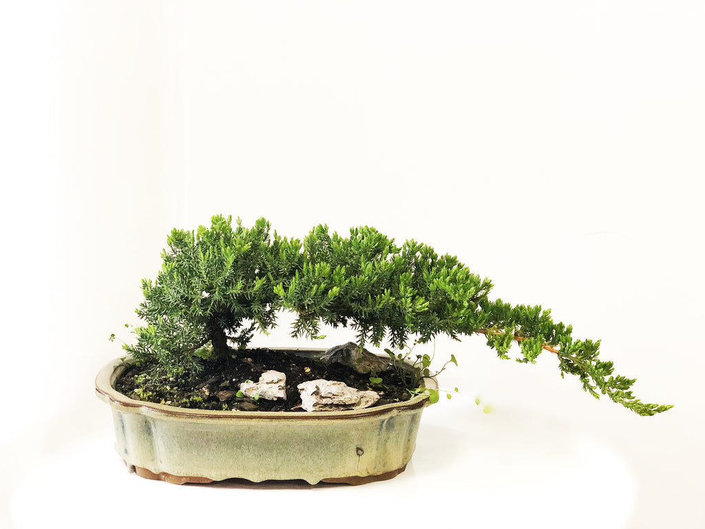 Advanced Bonsai - Juniper Squamata 'Pingii'
