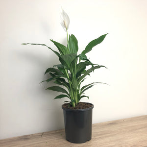 Spathiphyllum Cosmic Cupido - Peace Lily