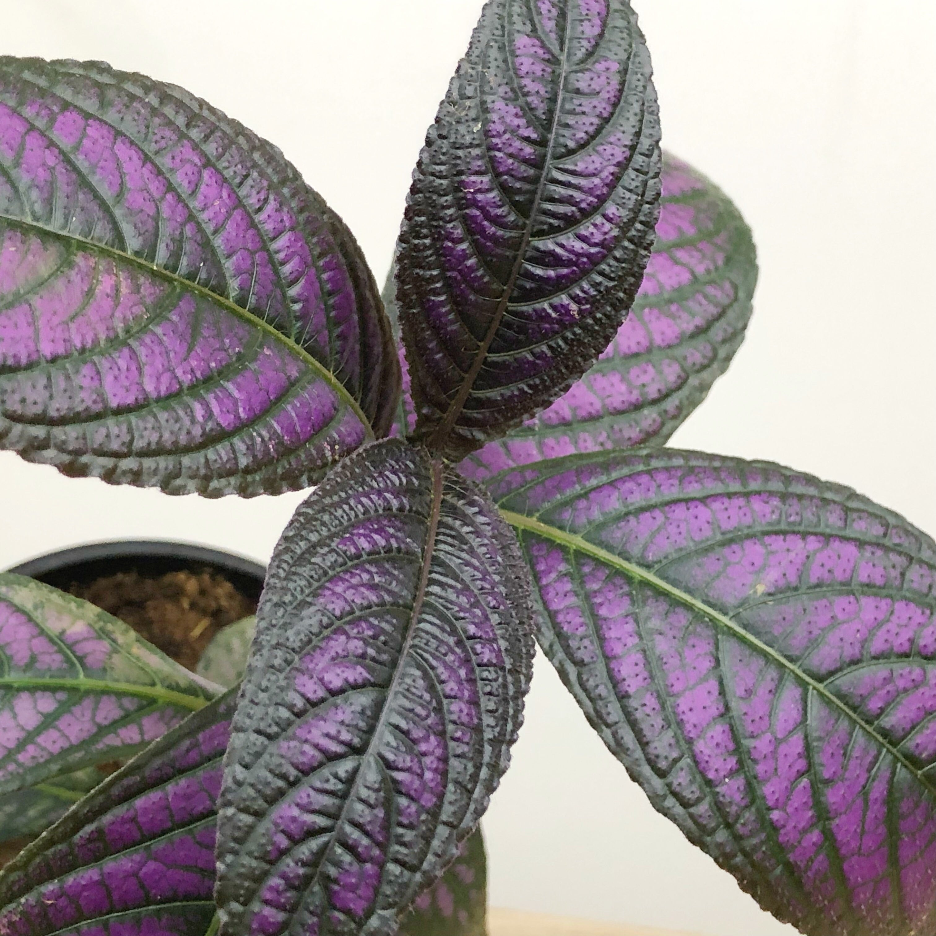 Picture of Live Persian Shield Purple aka Strobilanthes dyerianus Plant Fit 1QRT Pot