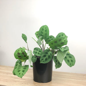 Maranta leuconeura Green Prayer Plant