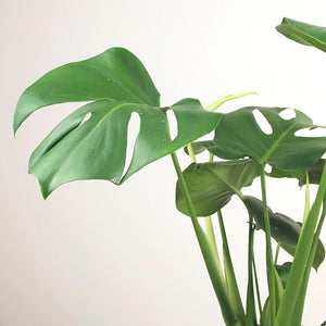 Monstera Delicosa Fruit Salad Plant