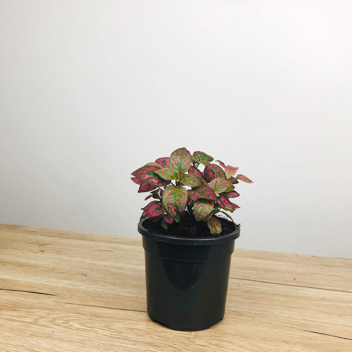 Hypoestes Red Splash