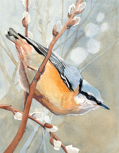 Red Breasted Nuthatch - Art Print