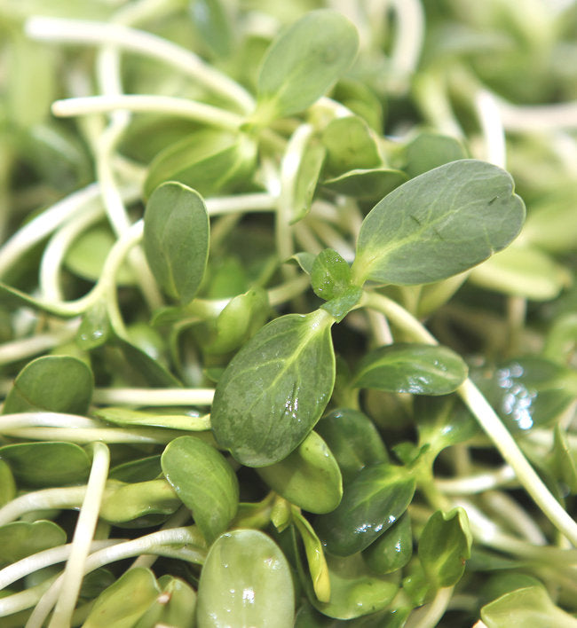 Microgreens - Sunflower Shoots