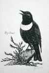 Ring Ouzel - The Wallington Gallery