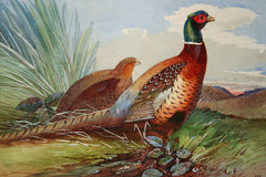 Pheasant and Grey Partridge in Summer