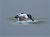 Shoveler - The Wallington Gallery