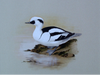 Smew - The Wallington Gallery