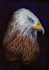 Red Kite - The Wallington Gallery