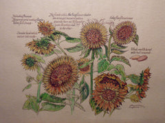 Botanical watercolour of Sunflowers
