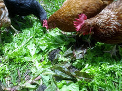 Healthy Chickens Eating Green Vegetables