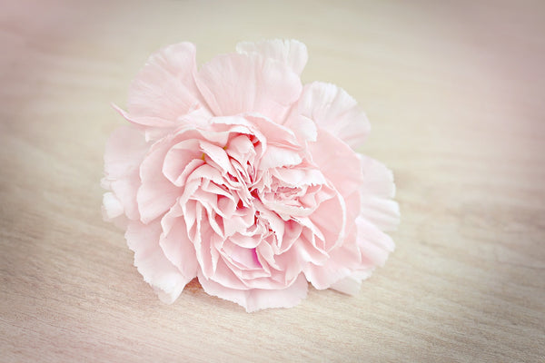 All About Carnations