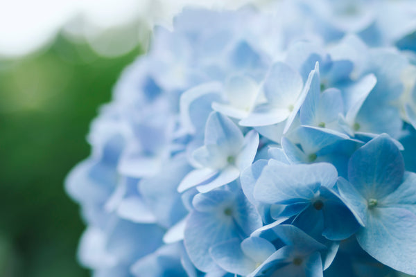 All About Hydrangeas