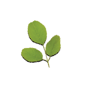 A three-leaf piece of moringa. It is one of the ingredients used in the green blend by Smoov.