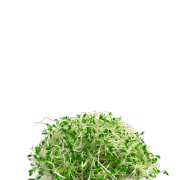 Picture of bright green fresh alfalfa sprouts. It is one of the ingredients used in the green blend by Smoov.