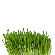 A bunch of fresh green oat grass. It is one of the ingredients used in the green blend by Smoov.