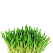 A bright vibrant green bunch of fresh barley grass It is one of the ingredients used in the green blend by Smoov.