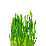 A vibrant green bunch of fresh wheat grass. It is one of the ingredients used in the green blend by Smoov.
