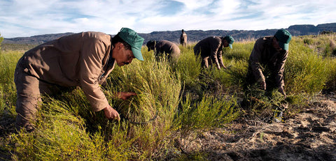 Workers Harvesting Rooibos Tea