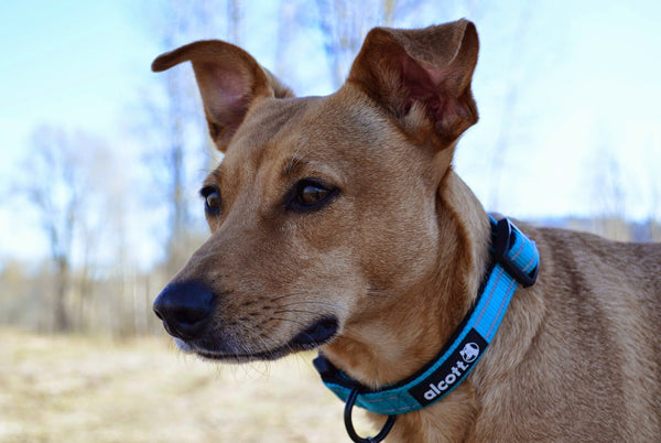 Alcott Collar Blue - Collars - Xtra Dog