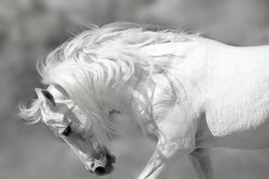White horse Art prints
