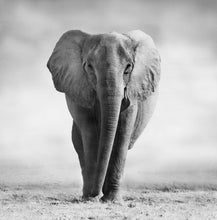 Load image into Gallery viewer, African Elephant 5 - Gallery Canvas w/ COA (Various Sizes)