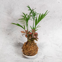 Load image into Gallery viewer, Parlour Palm x Red Nerve Koke-Bouquet