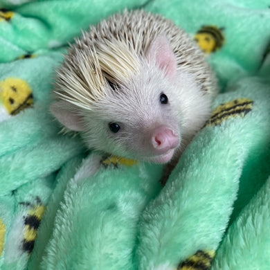 Mint bee cuddle fleece handling blankets for hedgehogs and small pets.
