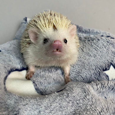 Glow in the dark cuddle fleece handling blankets for hedgehogs and small pets.
