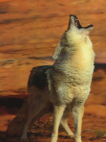 Coyote Howling 3-D Postcard