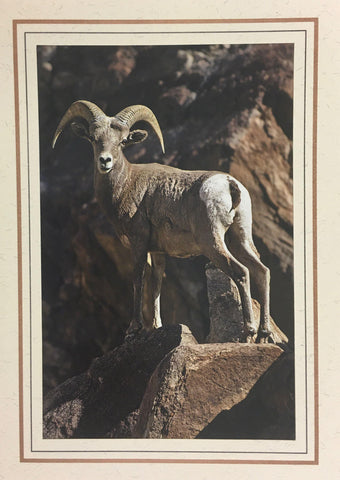 Desert Bighorn Note Card/ Single Male