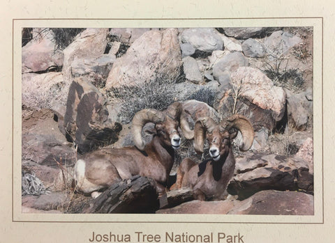 Desert Bighorn Note Card/ Two Males