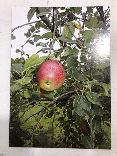 Apple Orchard Post Card