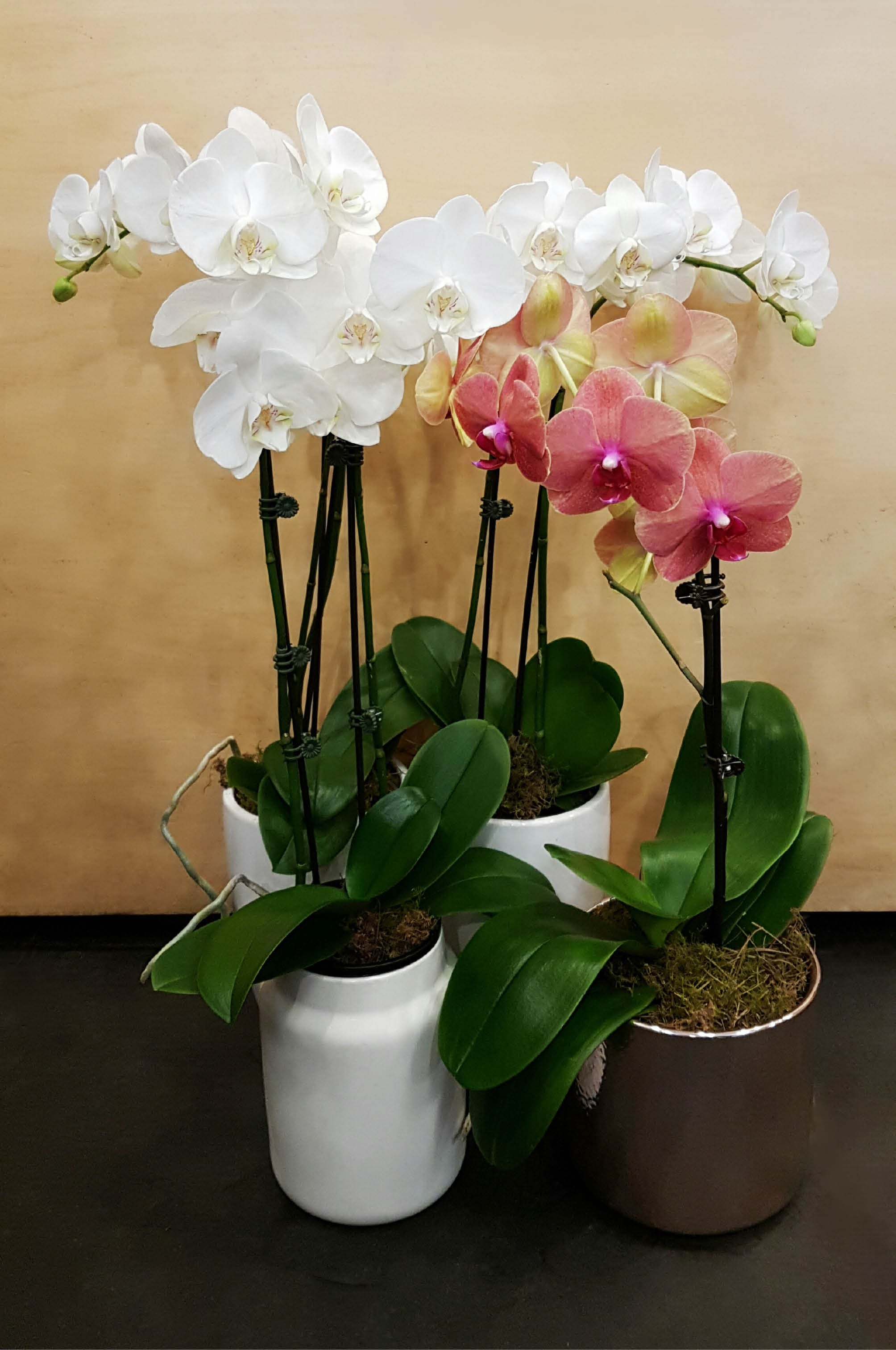 Phalaenopsis Orchid Plant Poetry In Flowers