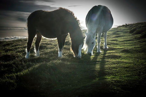Photograph of two wild ponies at sunset