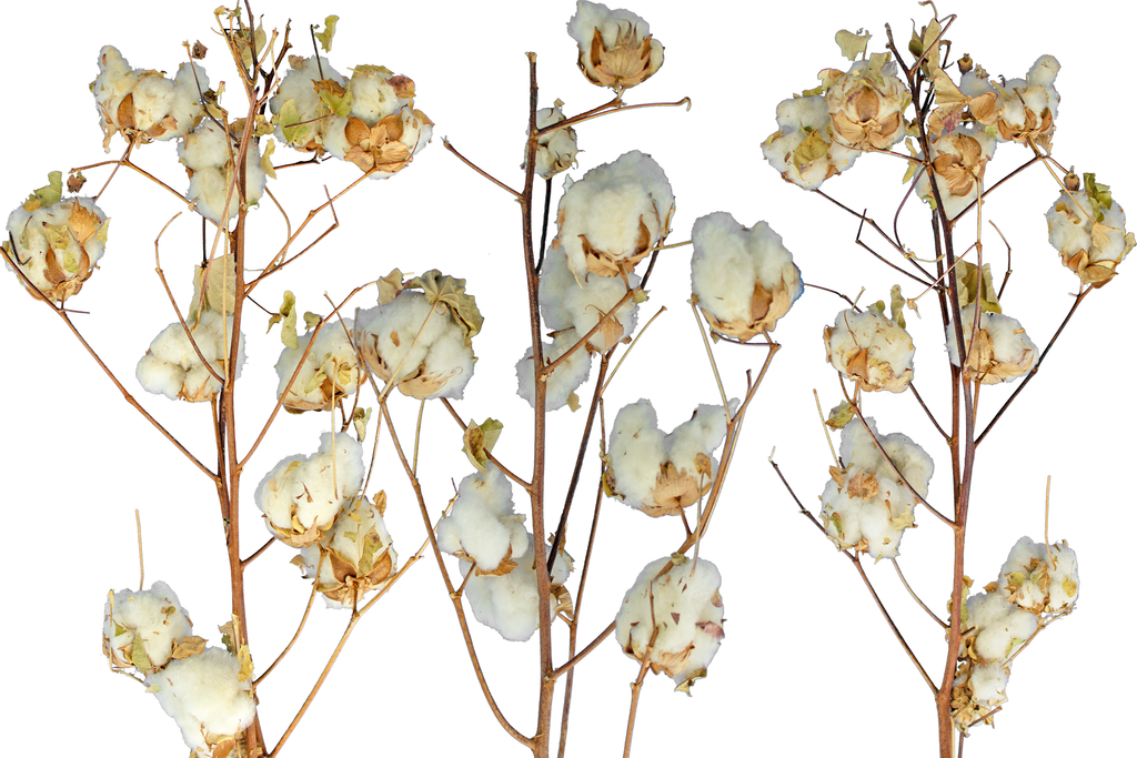 Cotton Stalk Real Natural Branches Sold in the pack of 3 from Lee Display