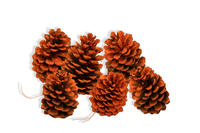 Real natural and locally sourced Pine Cones painted in orange to match your fall decorations and Halloween decor.