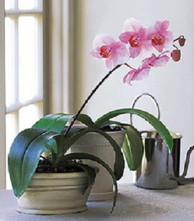 Orchid Plant (642)