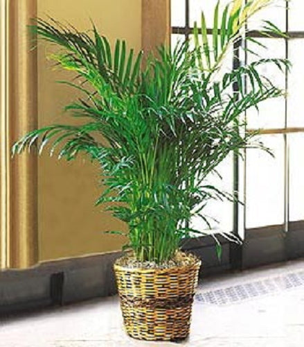 Palm Plant This lush and robust floor plant is a great choice for the home or office because it is low maintenance, and a classic addition to any plant collection