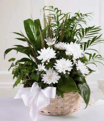 Our keepsake basket is filled with an array of green, easy to care, houseplants with white flowers & white bow
