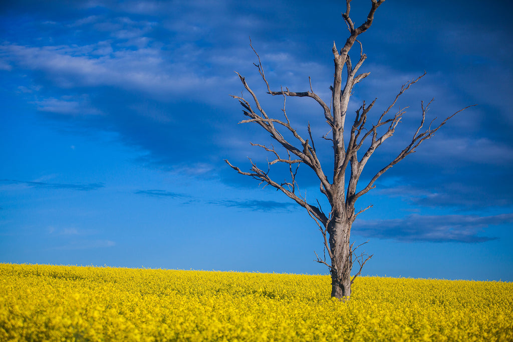The Canola Trail - Temora NSW. Image Greg Priestly ( Via Capture Coolamon Shire Photo Comp)