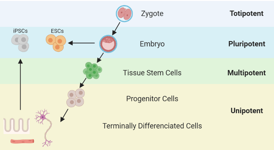 a step by step diagram of how iPSCs are created